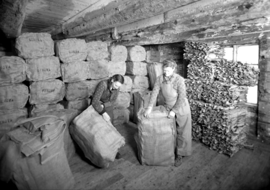 To kvinner i arbeid med tørrfisk hos Clement Johnsen AS. Bildet er tatt av Norvin Reklamefoto på oppdrag fra Clement Johnsen AS.