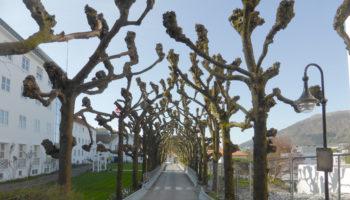 Lindealleen på Haraldsplass og Møllendal var Nord-Europas lengste