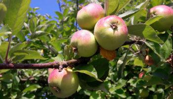 Flott frukt på epletre i asfaltørkenen